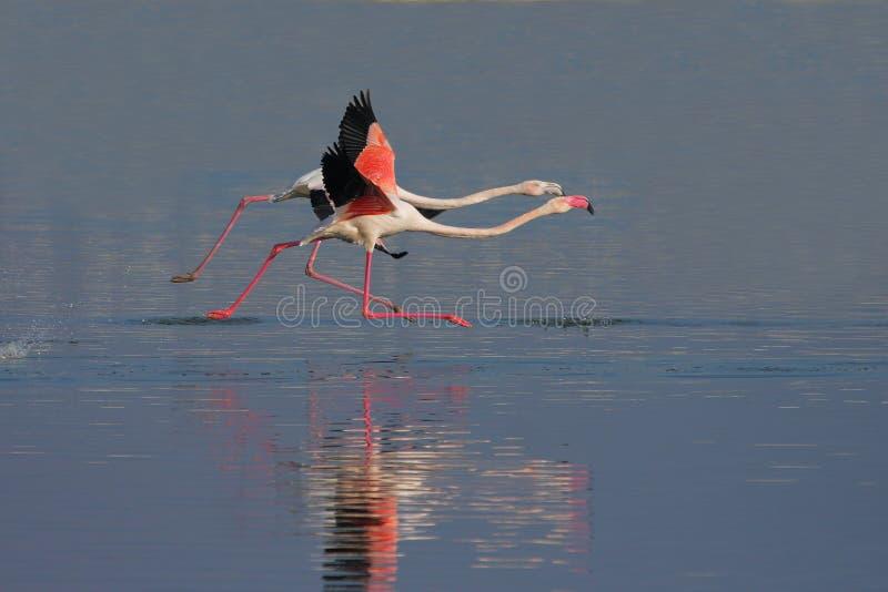 Download Grotere Flamingo (Phoenicopterus-roseus). Stock Afbeelding - Afbeelding bestaande uit park, dier: 39110713