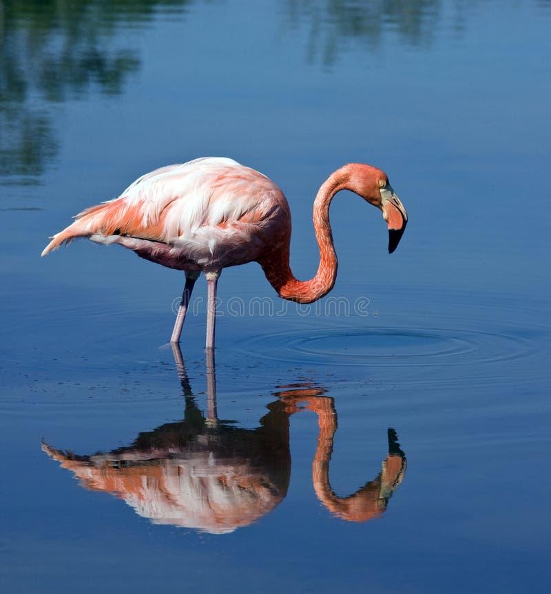 Grotere Flamingo (Phoenicopterus ruber) stock afbeelding