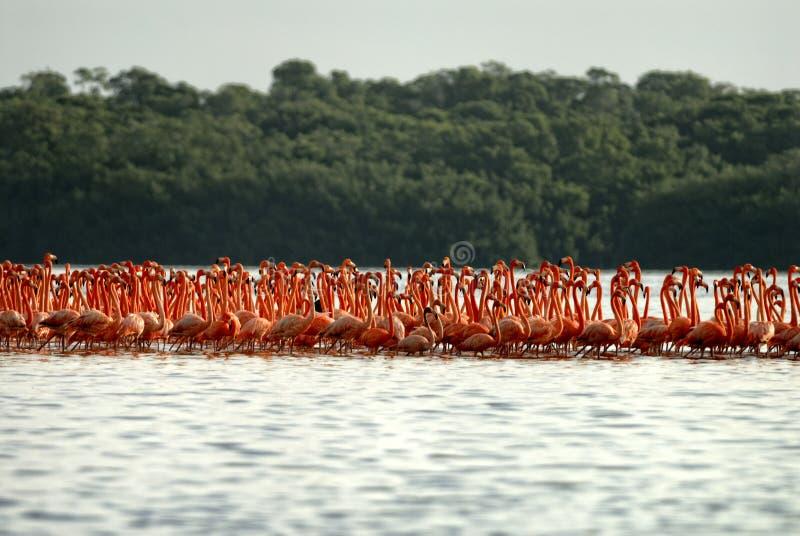 Grotere Flamingo's stock foto's