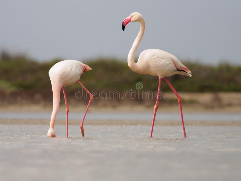 Grotere flamingoes royalty-vrije stock foto's