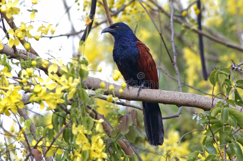 Grotere sinensisvogels van Coucal Centropus van Thailand royalty-vrije stock fotografie
