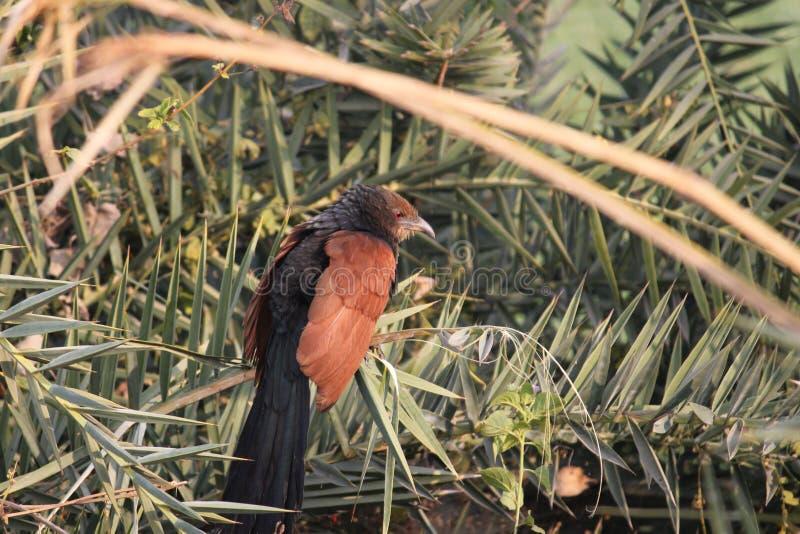 Grotere vogel Coucal stock afbeelding