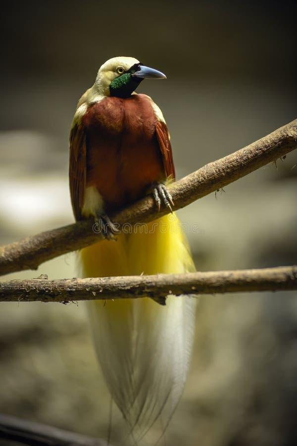 Grotere vogel-van-paradijs Paradisaea-apoda royalty-vrije stock afbeelding