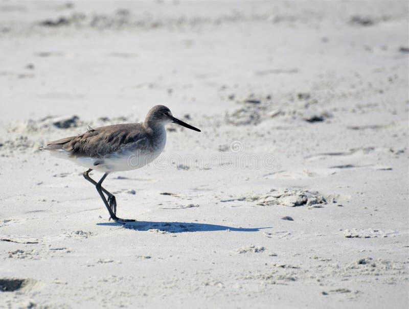 Grotere Yellowleg is een vrij grote zeevogel die op de stranden van Florida kan worden gezien stock fotografie