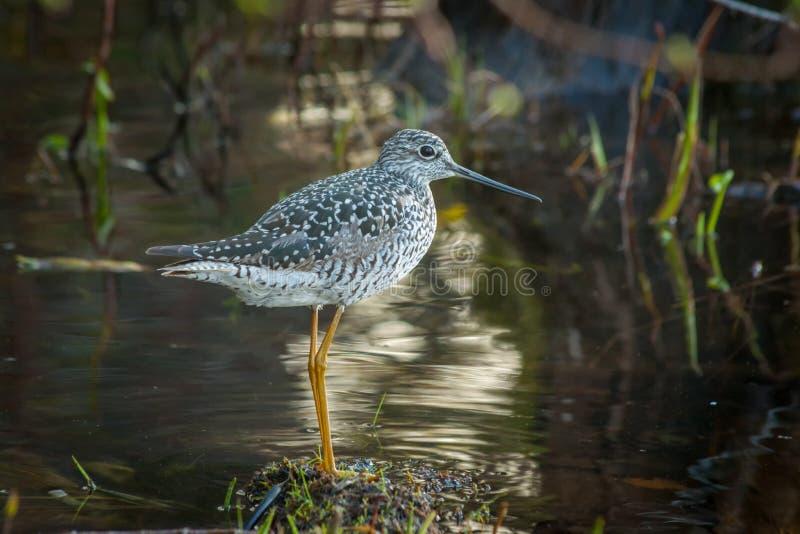Grotere Yellowleg - Shorebird royalty-vrije stock foto's