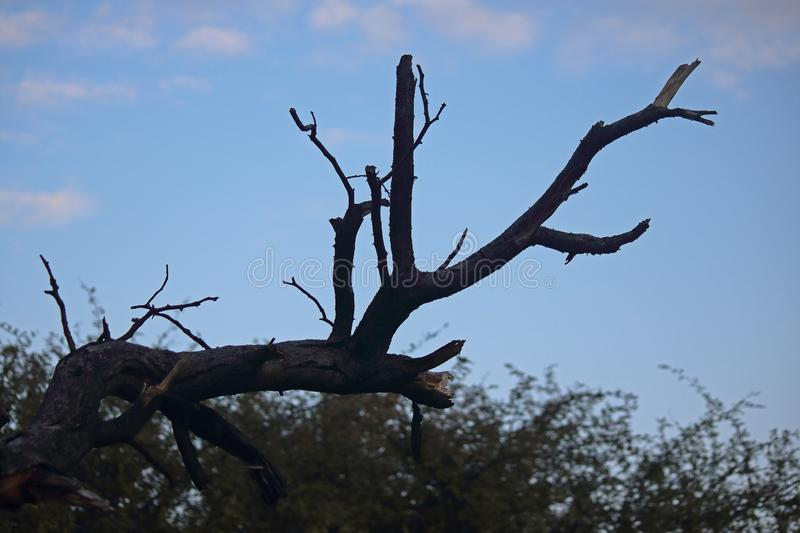 GROTESQUE DRY BRANCH AGAINST EARLY MORNING SKY stock images