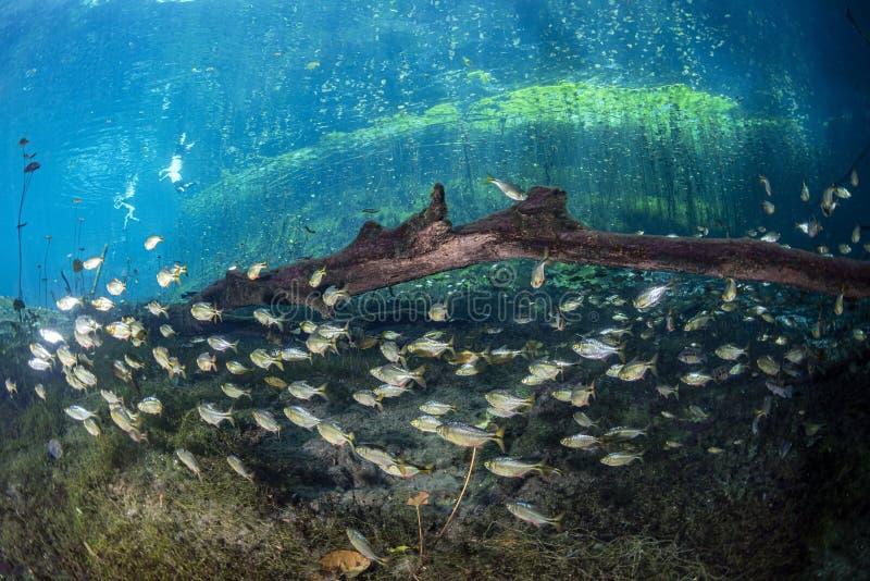 Grottadykning i mexikanska cenotes arkivbild