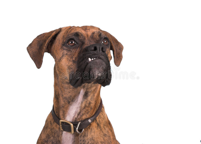Grouchy Boxerhund stockfoto