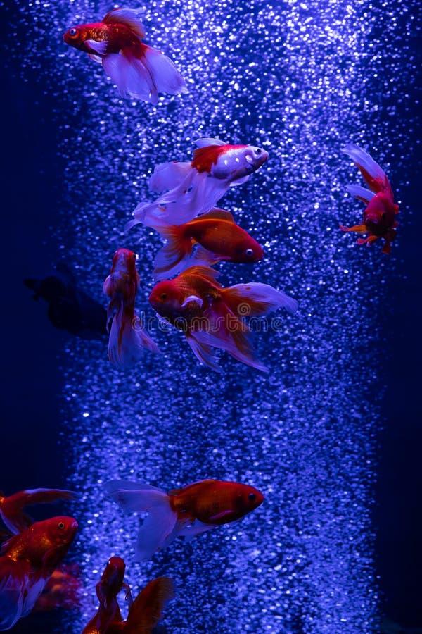 Grouillez les poissons rouges d'or à l'arrière-plan de bleu de bulles d'air images stock