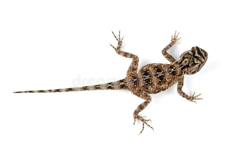 Download Ground Agama Royalty Free Stock Image - Image: 27483516