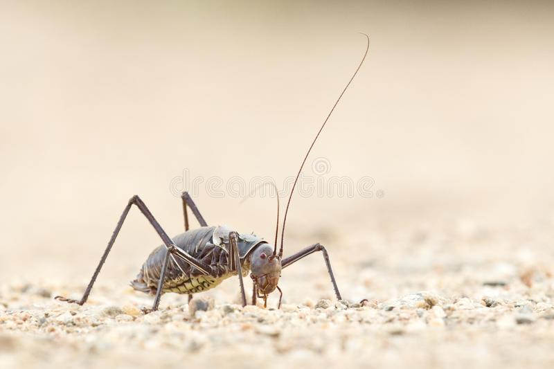 A Ground Armour plated cricket. Close up. Macro shot. Detailed image. royalty free stock images