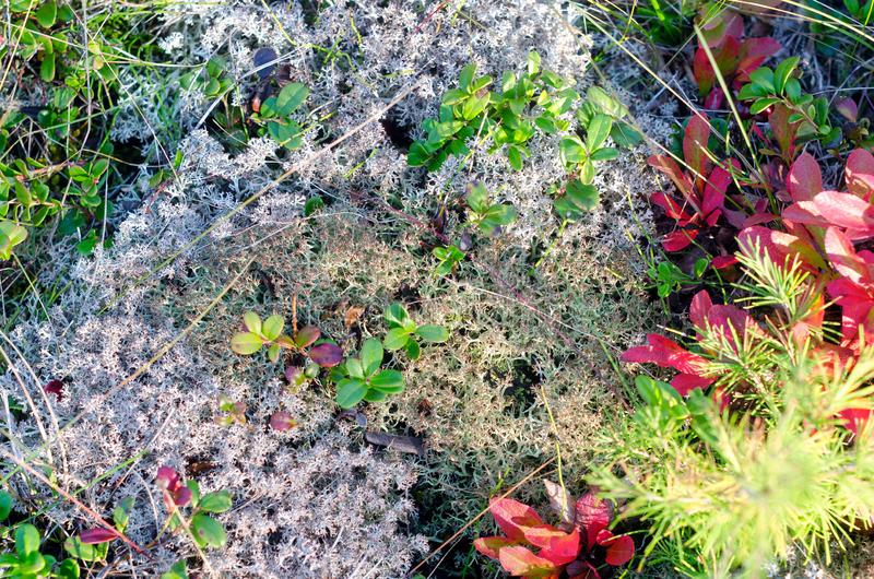 Ground background in the tundra of Yakutia with white moss. royalty free stock photo