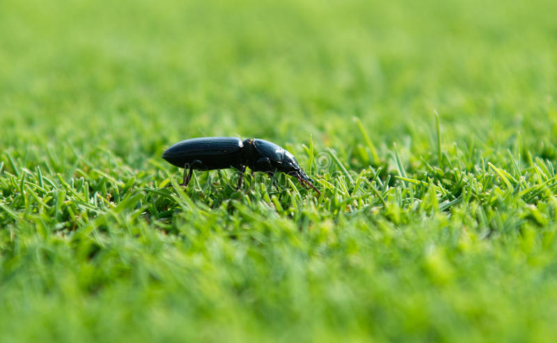 Ground Beetle Royalty Free Stock Photo