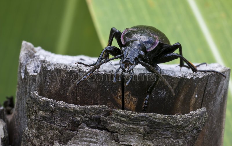 Ground beetle. More appropriately known as Carabus stock images