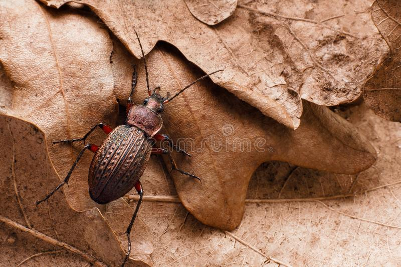 Ground beetle on last year`s dry oak leaves stock photography