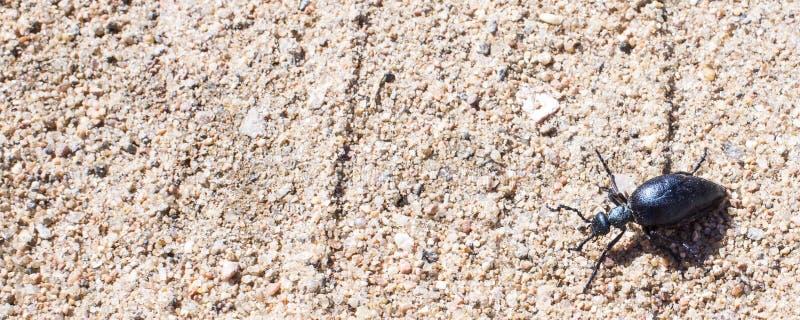 Ground beetle on sund, macro photo stock image