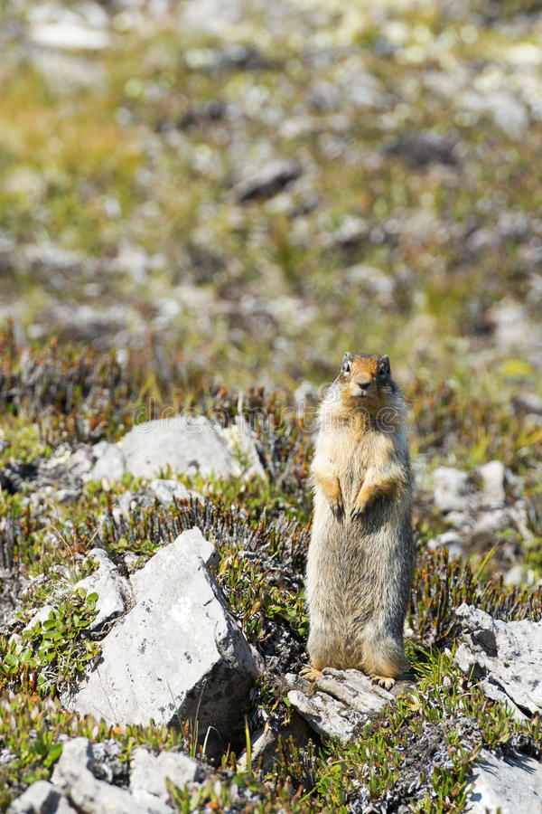 Download Ground canadian squirrel stock photo. Image of wild, fluffy - 33321826