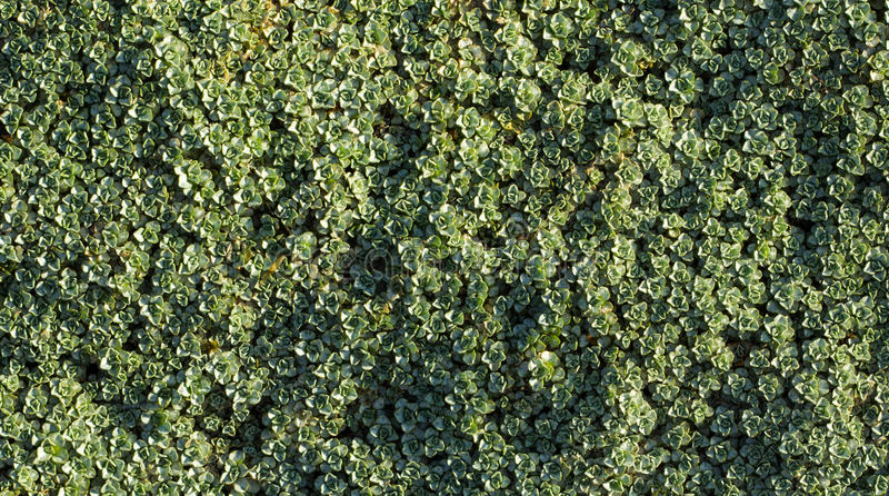 Download Ground Cover Plant stock photo. Image of green, coverage - 30422284