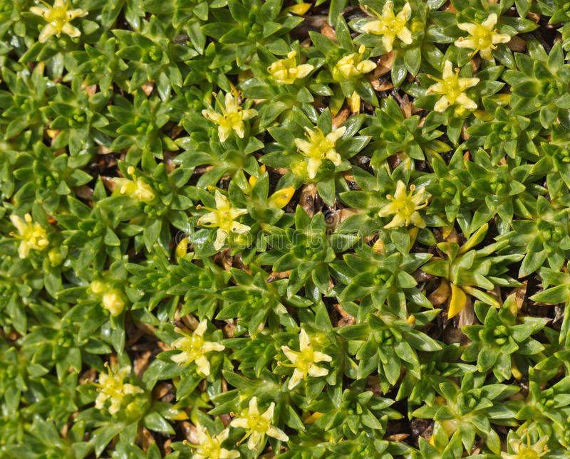 Ground cover plant with small yellow flowers close up stock photo download ground cover plant with small yellow flowers close up stock photo image of plant mightylinksfo