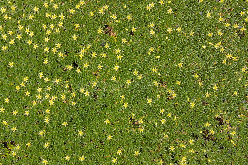 Ground cover plant with small yellow flowers stock photo image of download ground cover plant with small yellow flowers stock photo image of background flowers mightylinksfo