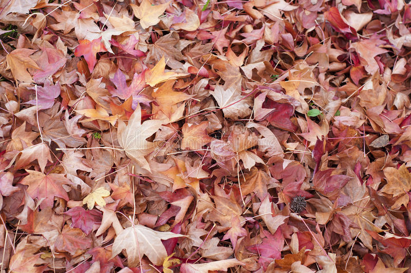 Download Ground Covered With Liquidambar Sweetgum Leaves Stock Image - Image: 29370249