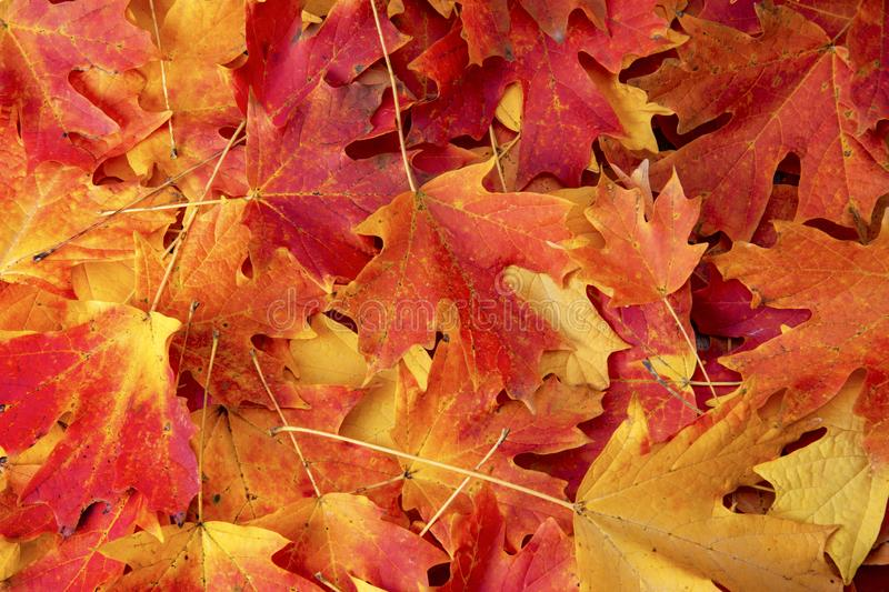 red maple fall colored leaves royalty free stock photos