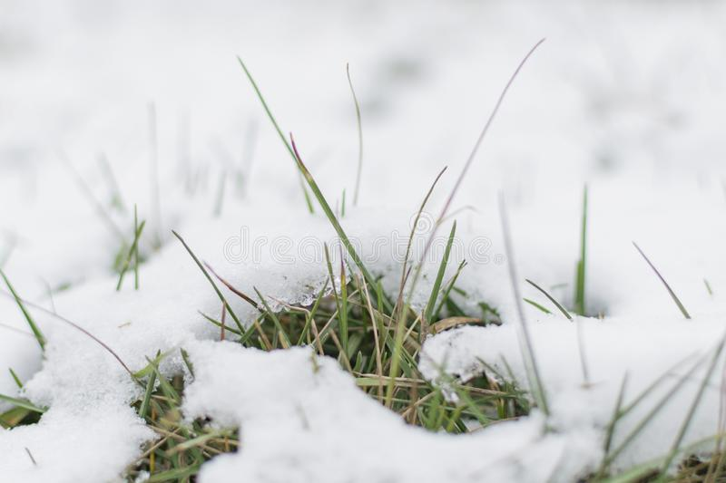 Grass sprouts stick out from under the snow. The ground is covered with snow. Grass sprouts stick out from under the snow royalty free stock photos