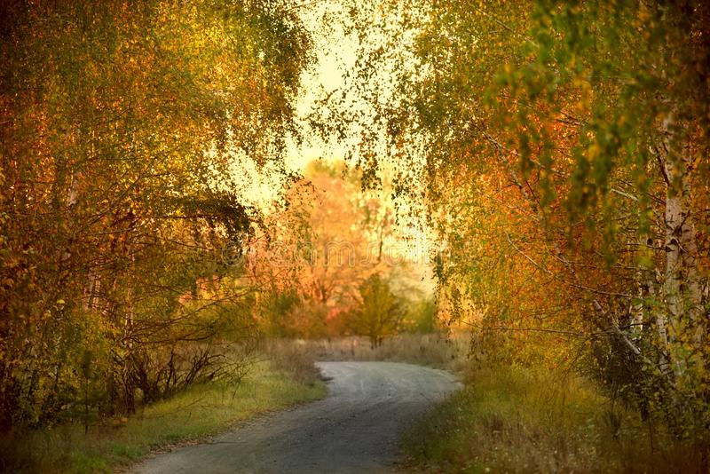 A ground desert road in the autumn forest. Yellow birches and a dreary sky stock image