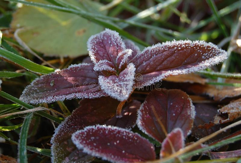 Frost on maroon leaves royalty free stock photo
