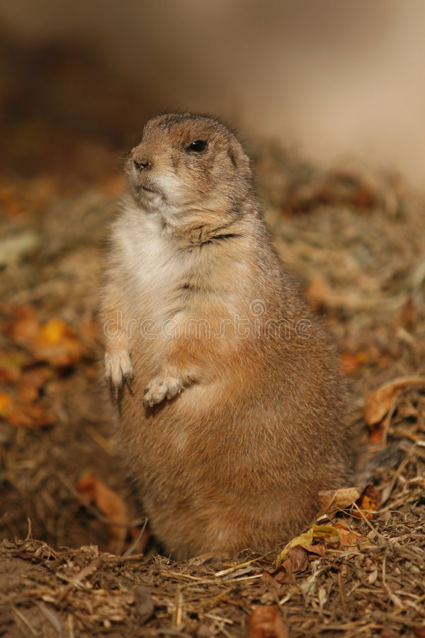 Free Ground Hog Royalty Free Stock Photos - 6943098