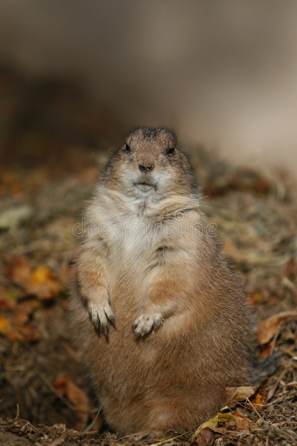 Free Ground Hog Royalty Free Stock Photo - 7566735