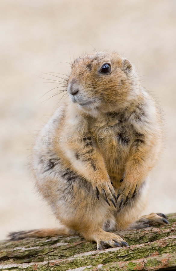 Free Ground Hog Royalty Free Stock Photo - 8923555