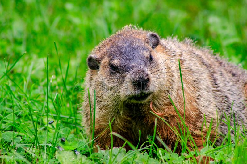 Ground hog marmot day close up portrait while coming to you.  stock photo