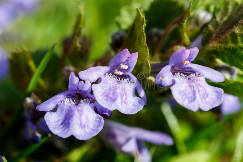 Ground-ivy flower. Ground-ivy flower in front of blurry green background stock photography