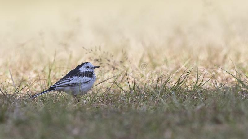 Pied Wagtail in Pasture. Ground level image of young pied wagtail motacilla alba on prairei at Doi Inthanon National Park, Thailand royalty free stock image