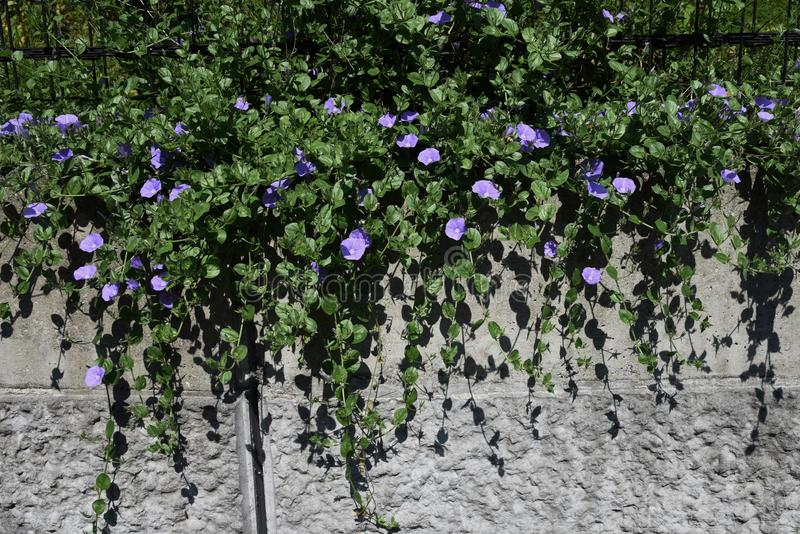 Ground morning glory royalty free stock images
