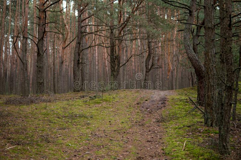 Path in a forest of pine trees. Ground path inside of a forest full of pine trees stock photos