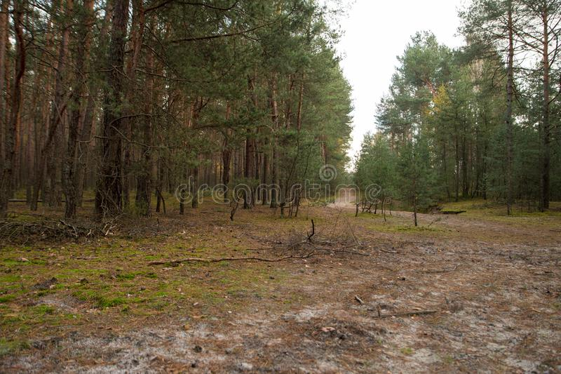 Path in a forest of pine trees. Ground path inside of a forest full of pine trees stock image