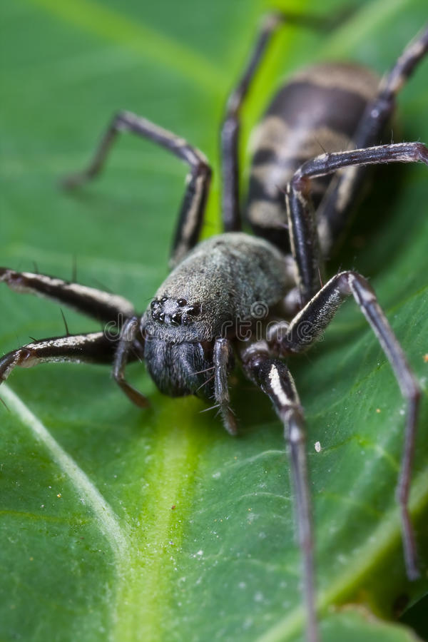 Download Ground spider stock image. Image of jumping, macro, fang - 10583081
