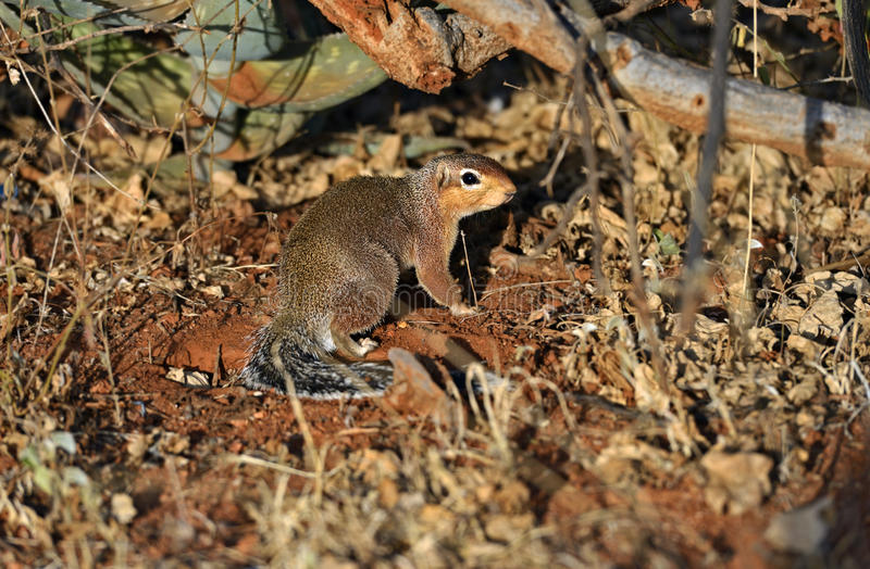 Download Ground Squirre stock photo. Image of wild, african, habitat - 39513798