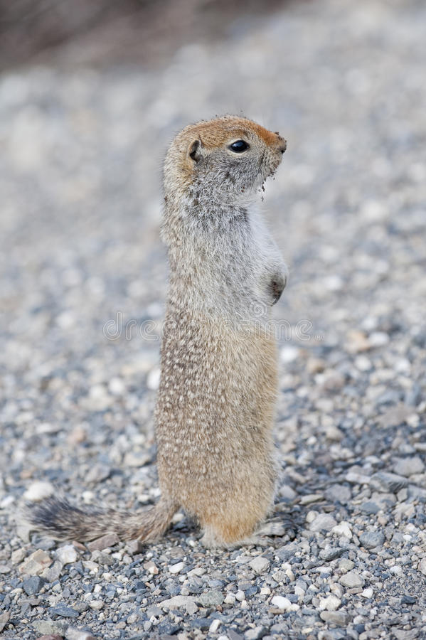 Download Ground Squirrel Stock Photo - Image: 11102770