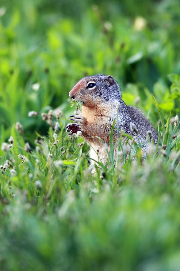 Download Ground Squirrel stock photo. Image of staring, squirrel - 16516964