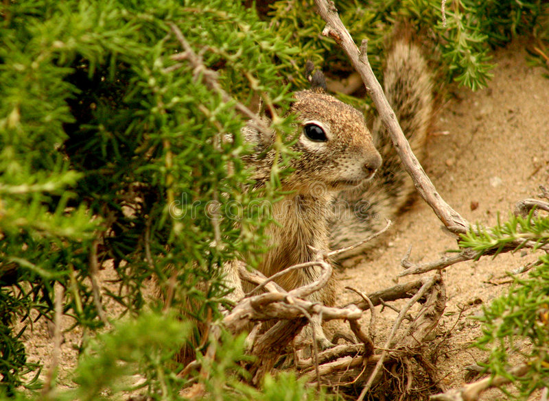 Download Ground Squirrel stock photo. Image of nature, animal, forrest - 170424