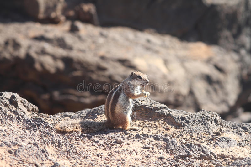 Download Ground Squirrel Stock Images - Image: 18566964