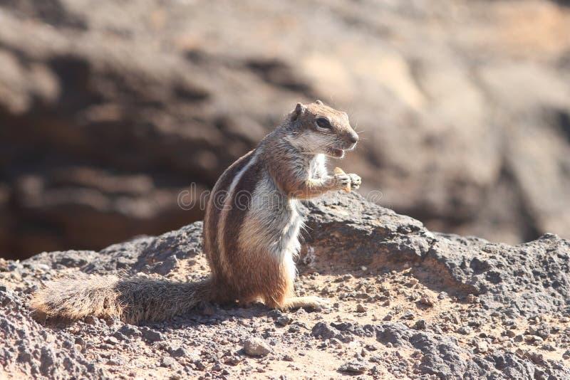 Download Ground Squirrel stock image. Image of nature, squirrel - 18566991