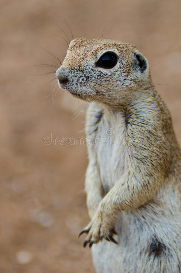 Download Ground Squirrel Stock Photos - Image: 20021493