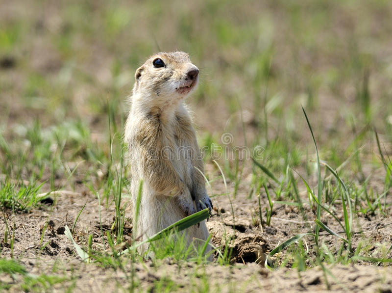 Download Ground squirrel stock photo. Image of standing, squirrel - 25303608
