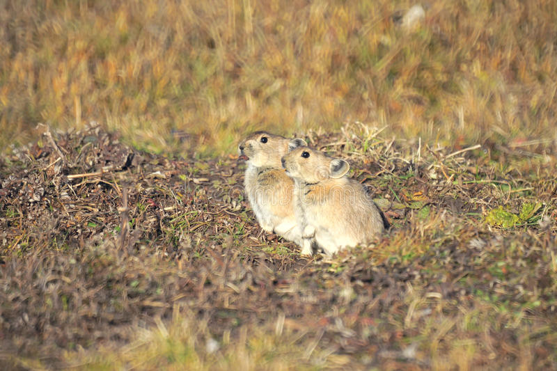 Download Ground squirrel stock image. Image of animal, wild, rodent - 27230615