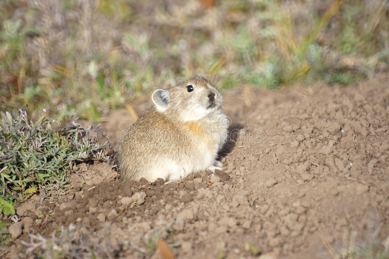 Download Ground squirrel stock photo. Image of rodent, suslik - 27230636