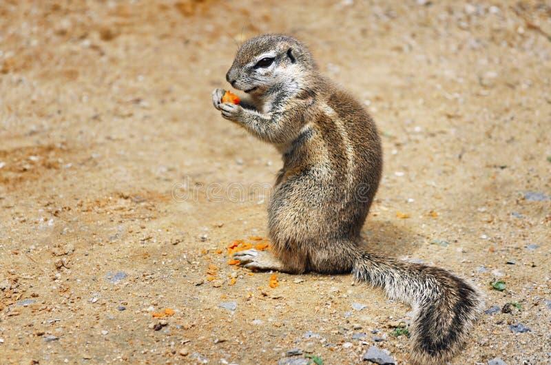 Download Ground Squirrel Stock Photo - Image: 27692270